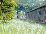 Hoa cỏ tranh bên Tử Cấm Thành – Đại Nội Huế lung linh một màu trắng